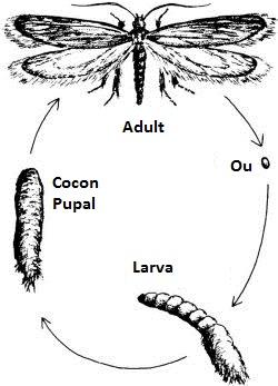 Ciclul de viata la molii