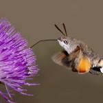 molia_colibri